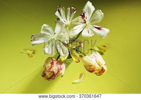 Elegant Bouquet Of Wilted Tulips On An Olive Color Background. Picturesque Flowers In A Glass. Horiz