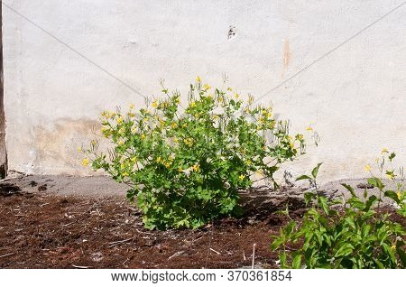 Chelidonium Majus Or Greater Celandine Growing In The Garden Of An Old Farmhouse Next To Plastered W
