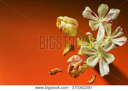 Elegant Bouquet Of Wilted Tulips On An Orange Background. Picturesque Flowers In A Glass. Place For