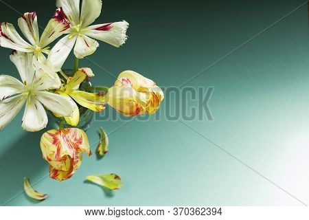 Elegant Bouquet Of Wilted Tulips On A Mint Color Background. Picturesque Flowers In A Glass. Place F