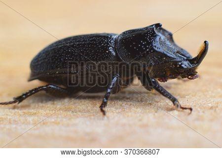 Sinodendron Cylindricum, Rhinoceros Stag Beetle,   Black Male