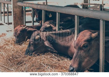 Agriculture Industry, Farming And Animal Husbandry Concept - Herd Of Cows Eating Hay In Cowshed On D