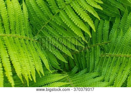 Natural Fern Textured Pattern. Beautiful Background Made With Young Green Fern Leaves. Beautiful Fer