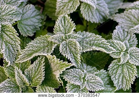 Frost-covered Green Nettle Leaves, The First Frosts In Autumn