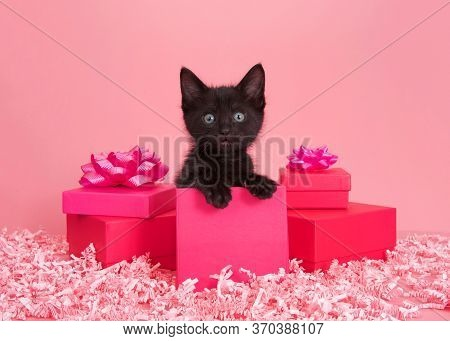 Black Kitten In A Pink Box Surrounded By Bright Pink Presents With Bows And Light Pink Paper Confett