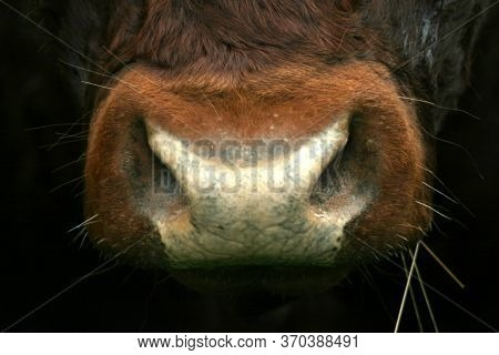 A Close Up Image Of A Brown Cow's Nose Or Snout