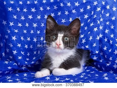 Close Up Of A Black And White Tuxedo Kitten Peeking Out Of A Blue Cloth Scarf With White Stars Looki