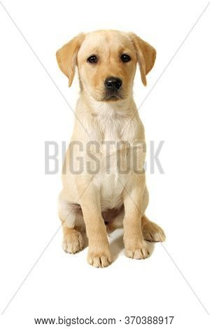 A Female Labrador Retriever Puppy Against A White Background