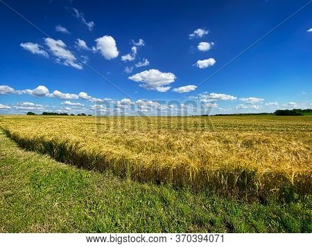 Barley Field Landscape, Agriculture Field With Blue Sky