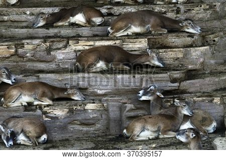 Barcelona / Spain - September 24 2015: A Herd Of Impalas Resting On A Row Of Stone Ledges