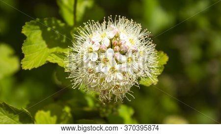 Blooming Bush Of Spirea White Flowers In Sunset Light. Spirea . Spiraea Is A Shrubs In The Family Ro