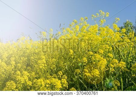 Rapeseed Field, Blooming Rapeseed Flowers Close. Bright Yellow Rapeseed Oil. Blooming Rapeseed