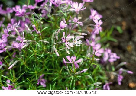 Phlox Subulata Creeping Phlox, Moss Phlox, Pink Moss Or Mountain Phlox Blooms Background. Small Pink