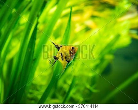 Angelfish Isolated In Tank Fish (pterophyllum Scalare) With Blurred Background