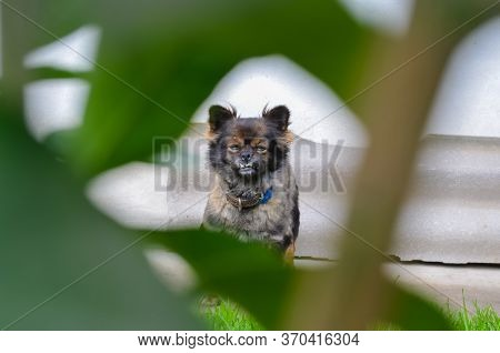 Little Dog Is Looking At The Camera. Small Dog Picture, Beautiful Dog Background, Portrait Of A Dog
