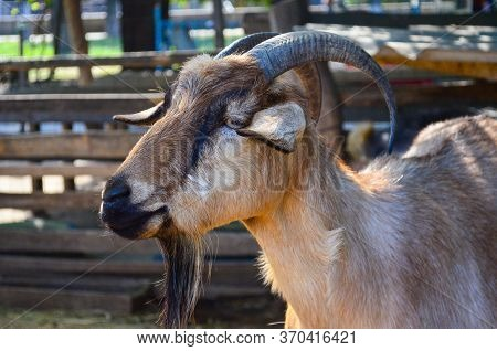 Goat At The Zoo. Portrait Of A Goat In The Zoo. Beautiful Goat Posing. A Goat In Captivity