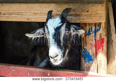 Goat At The Zoo In A Wooden Cage. Portrait Of A Goat In The Zoo. Beautiful Goat Posing. A Goat In Ca