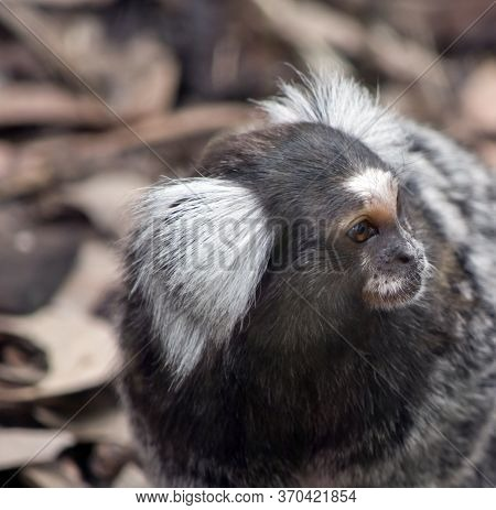 The White Eared Marmoset Is A Small Primate With Grey Fur And White Ear Tuffs