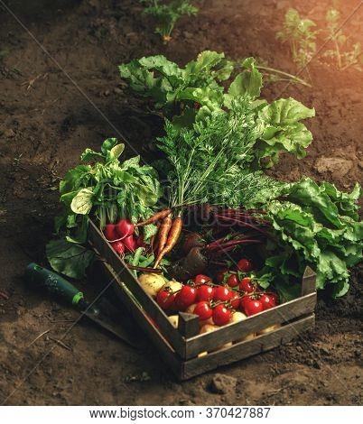 Fresh Vegetables, Potato, Radish, Tomato, Carrot, Beetroot In Wooden Box On Ground On Farm At Sunset