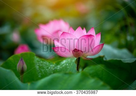 Beautiful Purple Lotus Flower Or Water Lily. The Background Is Lotus Leaf And Lotus Bud In A Pond. B