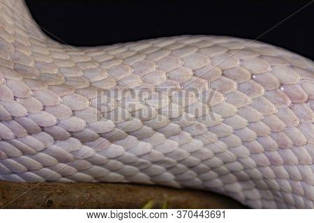 White Snake Skin, Texture, Background