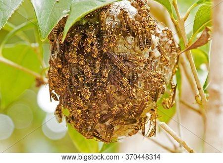 Closeup Swarm Of Wasps On Wasp Nest