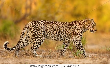 The African Leopard (panthera Pardus Pardus) Young Female Patrolling In Its Territory In The Last Ev