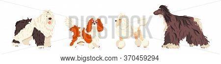Dog Breeds Bobtail, Cavalier King Charles Spaniel, Poodle, Afghan Hound Flat Vector Set. Grooming An