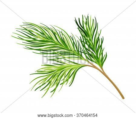 Cedar Branch With Evergreen Needle-like Leaves Vector Illustration
