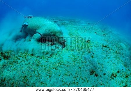 Close View On Cute And Amazing Dugong.underwater Shot. A Diver In Flippers And Mask Looking On Quite
