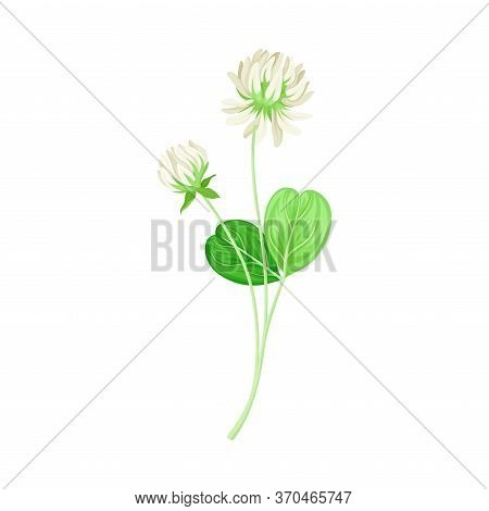 Clover Or Trefoil With Dense Spike Of White Flower And Trifoliate Leaves Vector Illustration