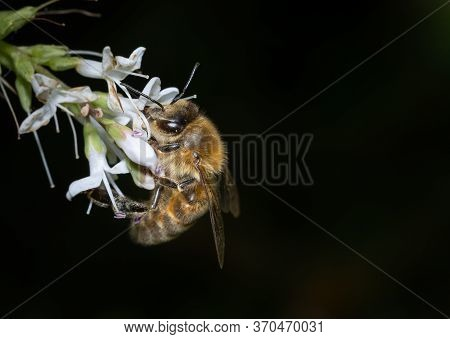 A Solitary Bee Pollinating Flowers.
