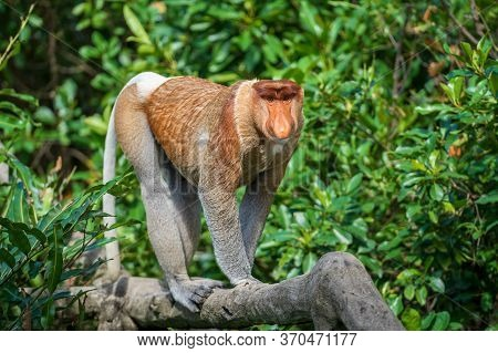 Portrait Of A Wild Proboscis Monkey Or Nasalis Larvatus, In The Rainforest Of Island Borneo, Malaysi