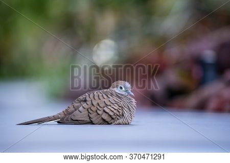 The Wild Dove Or Spilopelia Chinensis Or Pearl-necked Dove Or Spotted Turtle-dove In Singapore Botan