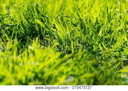 Green Grass In The Sunlight. Spring Green Background. A Glade Of Beautiful Green Grass. Uncut Meadow