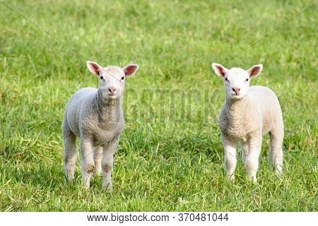 Two Curious Lambs Stood In A Field In Oxfordshire In The Uk