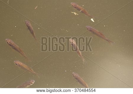 A Small Flock Of Fish Carp In Fresh Green Muddy Water. They Swam Up To The Surface Of The Pond
