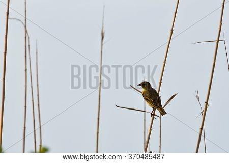 Female Village Weaver Bird In Wetland (ploceus Cucullatus), Mossel Bay, South Africa