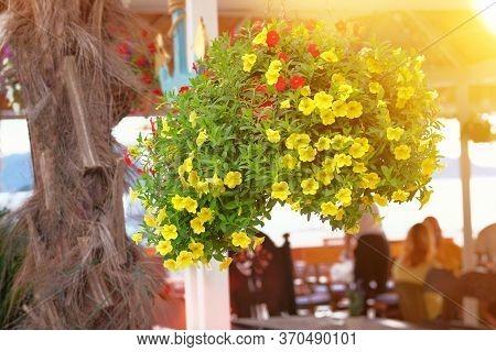 Petunia Decorate Summer Open Terrace Of Restaurant. Yellow Flowers In Flower Pots On Veranda Of Summ