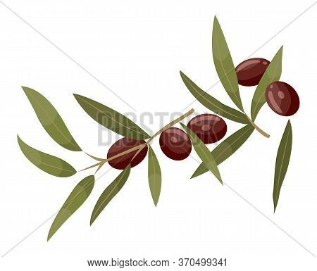 Branch With Green Leaves And Brown Drupes. Jojoba Isolated On White Background. Product Used In Derm