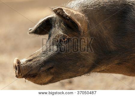 profile portrait of wild black pig
