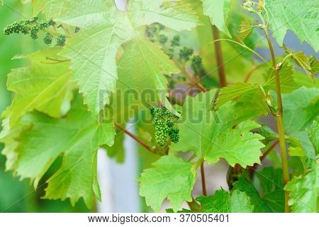 Blooming Bunch Of Grapes At The Beginning Of Summer In The Vineyard Home Farm. A Bunch Of Young Grap