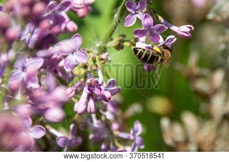 European Bee Pollinating Flowers Of Lilac Close-up. Purple Flowers And Bee Collecting Nectar And Pol