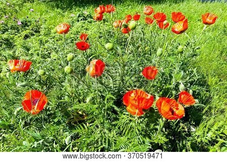 Poppies, Poppies, Poppies Do You Really Dream Of Attacking Red Poppies In The Grass