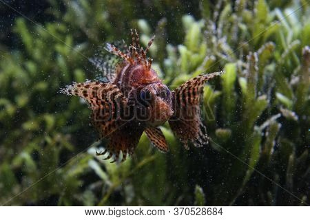 Dwarf Lionfish Surrounded By Tiny Bubbles In Front Of Blurry Alga
