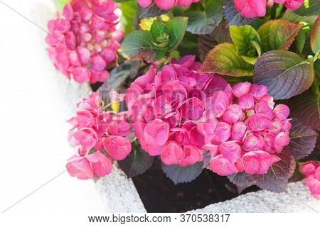 Pink Hydrangea In Flowerbed. Flowerbed At At Town Street. Bushes Of Flowers Blooming In Summer And S