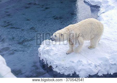 Polar Bear (ursus Maritimus) Enjoy Playing In The Snow