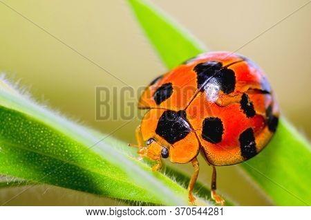 Ladybug Beautiful Bug On A Leaf Warm Spring Day