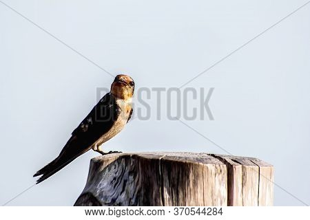 Bird Pacific Swallow (hirundo Tahitica) Isolated In Sea Blue In Tropical Southern Asia