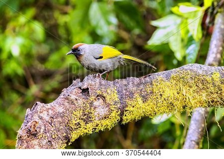 Scarlet-faced Liocichla (liocichla Ripponi) In Nature Wildlife